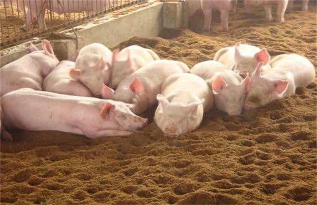 发酵床养猪优缺点 发酵床养猪