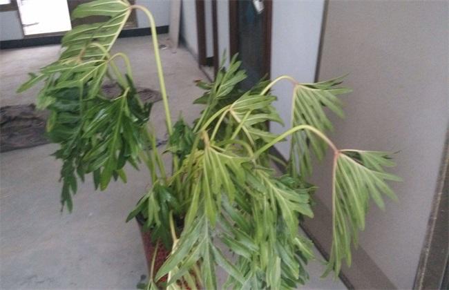 龟背竹叶子发软下垂怎么办图片