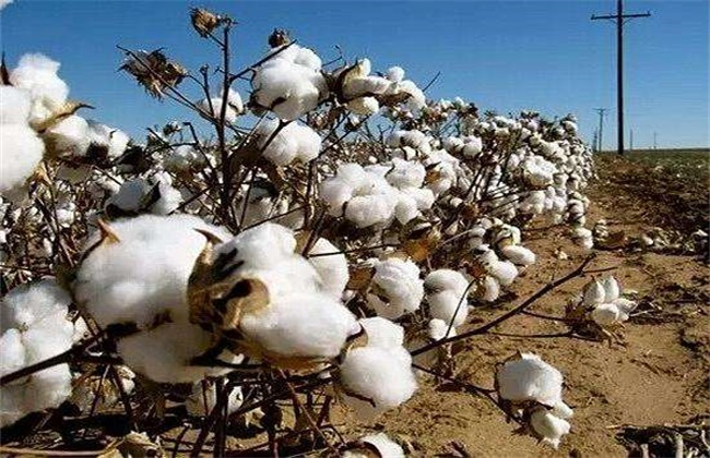 影响棉花纤维品质的因素有哪些