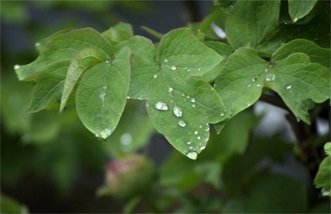 牡丹花叶子卷曲图片