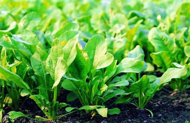 菠菜水肥管理 菠菜浇水施肥