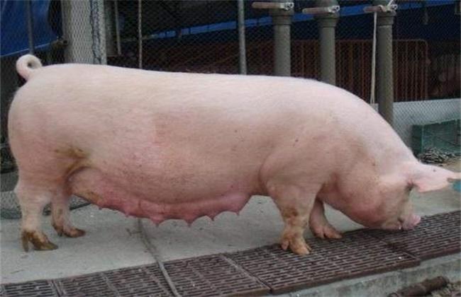母猪乏情的原因及预防措施