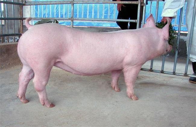 如何选择母猪品种