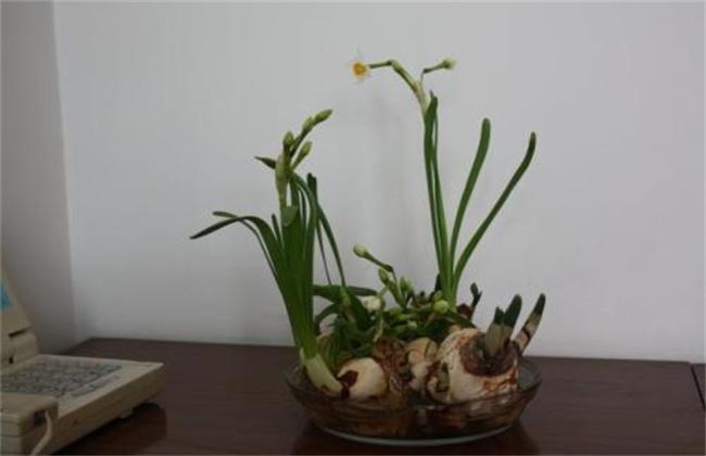 水仙花怎么种植方法图片