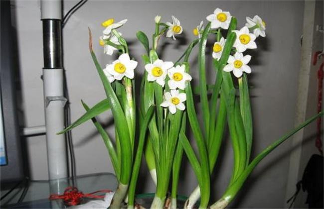 水仙花怎么繁殖图片