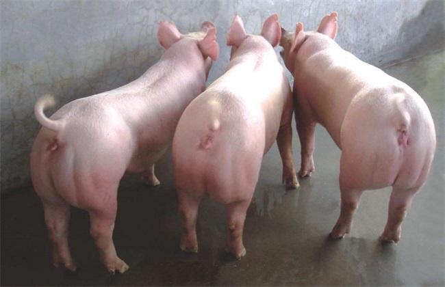 二元母猪养殖技术 二元母猪