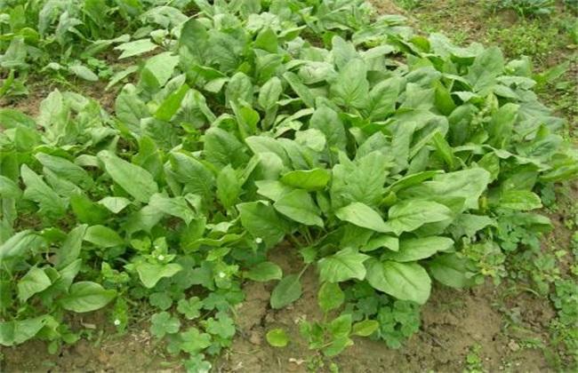 菠菜需肥特性 菠菜需肥规律