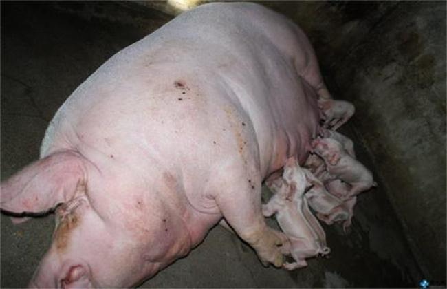 母猪产后不食原因及解决方法