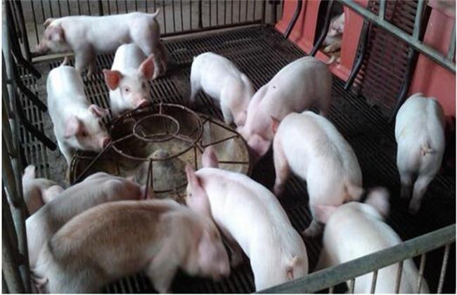 育肥猪饲养注意事项