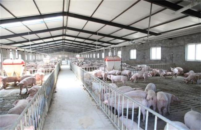 养猪如何降低成本