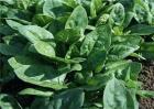 菠菜的需肥特性