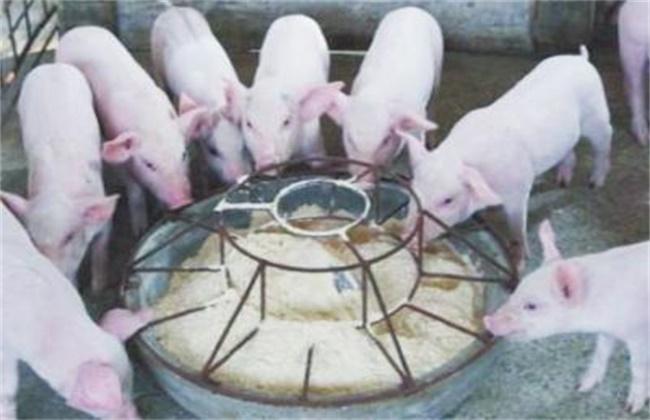 仔猪教槽方法和注意事项