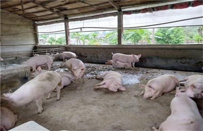 猪低温症怎么治疗 猪低温症