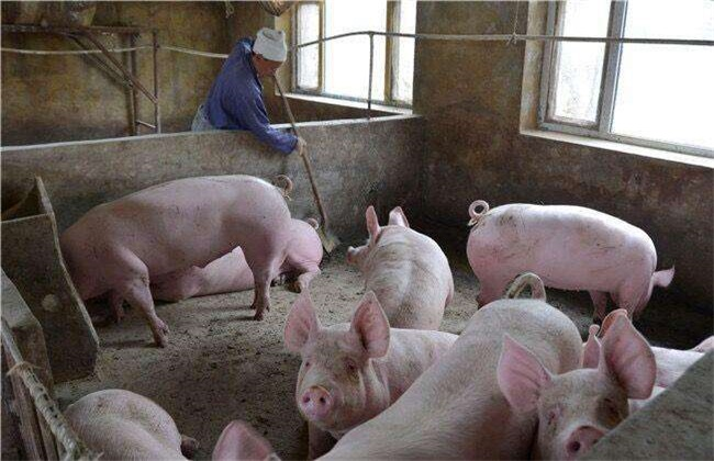 冬季猪舍氨气 怎么去除