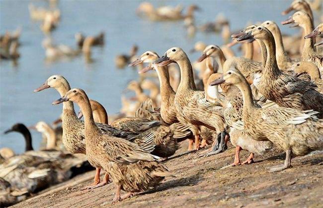 鸭子采食量少怎么办