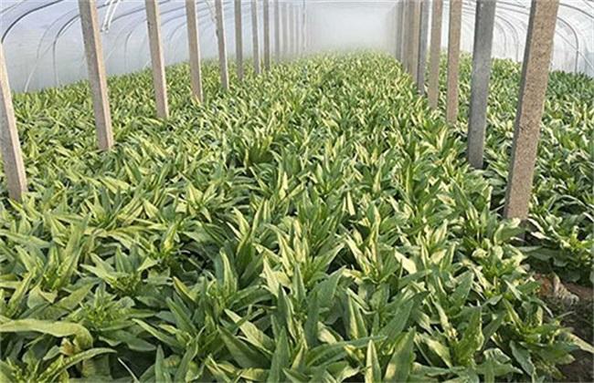 大棚冬莴笋 种植技术