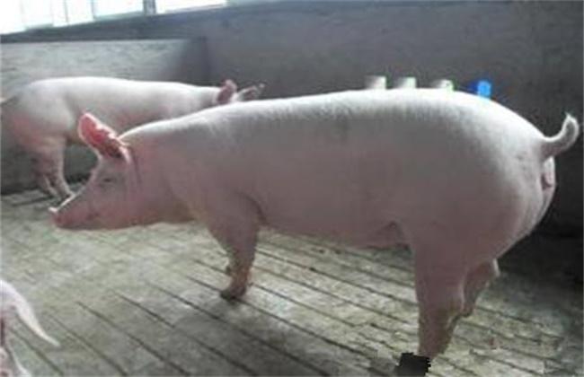 后备母猪初产管理要点