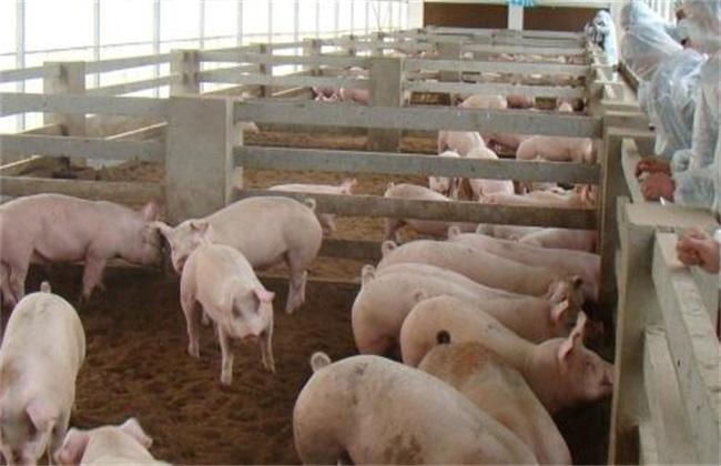 养猪场引种误区 养猪场引种