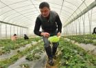 草莓冬季该怎么施肥