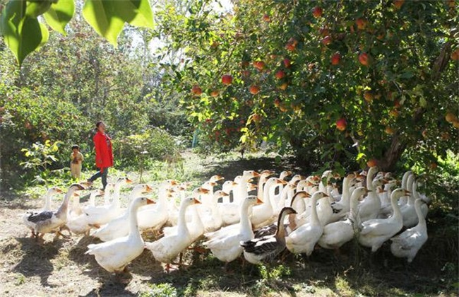 家禽生态养殖 生态养殖模式