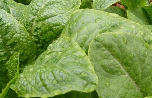 大棚蔬菜氨气中毒的预防措施