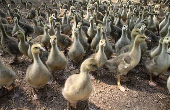 新手养鹅注意什么 新手养鹅