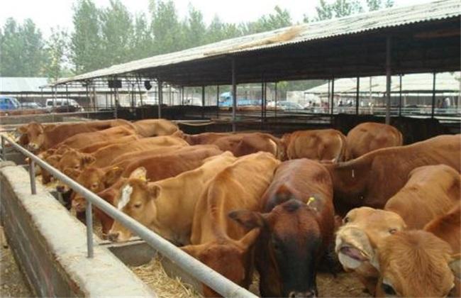 养牛前需要做哪些准备工作