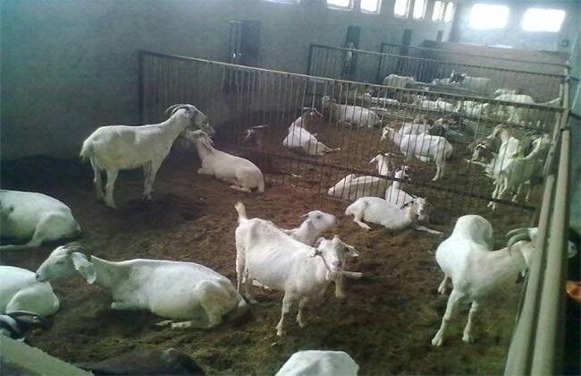 冬天养羊如何御寒
