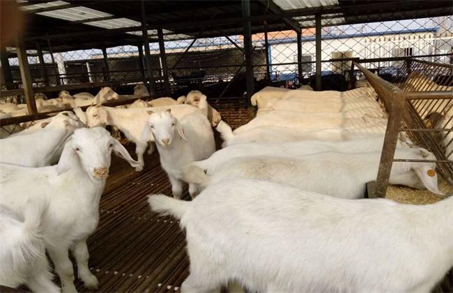 肉羊种羊 养殖要点