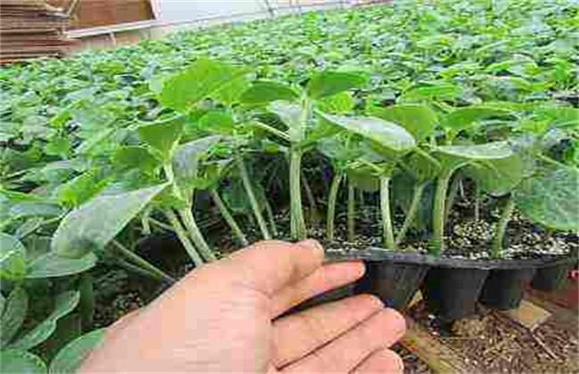 黄瓜出现高脚苗原因及防治方法