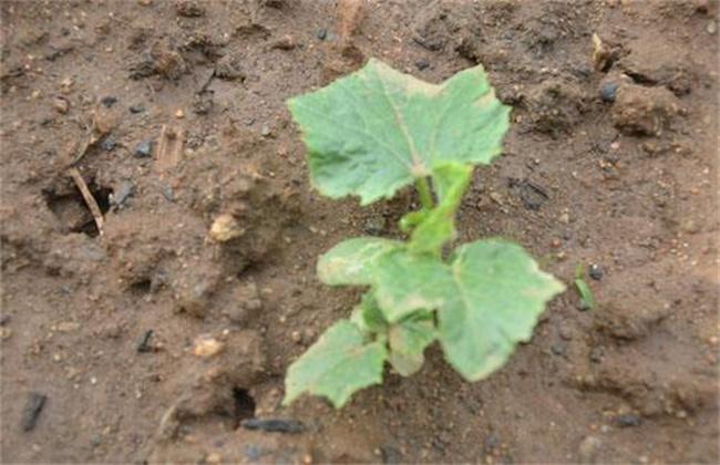 黄瓜僵苗原因及防止措施
