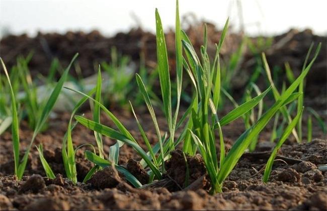 冬小麦怎样管理