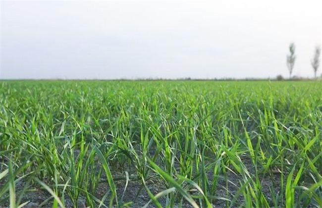冬小麦 怎样管理 冬小麦管理