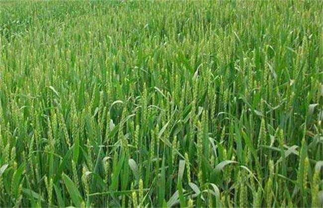 冬小麦 旺长原因