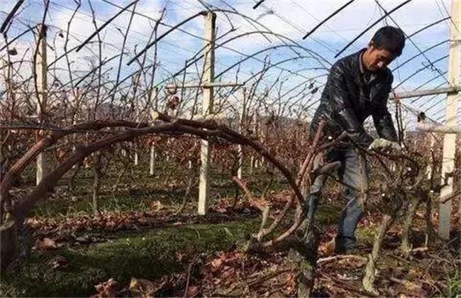 葡萄冬剪方法和注意事项