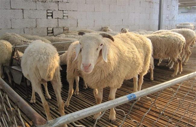 引发羊病 原因 是什么