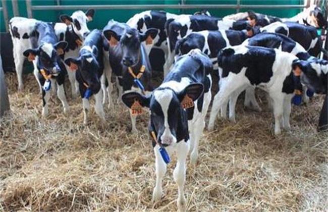初生犊牛 需注意 常见问题