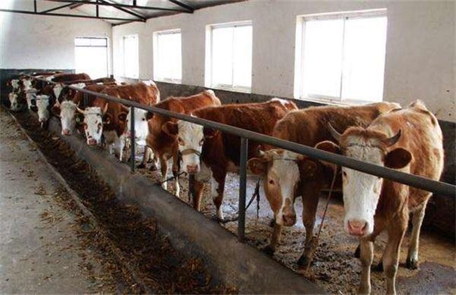 肉牛育肥期如何管理