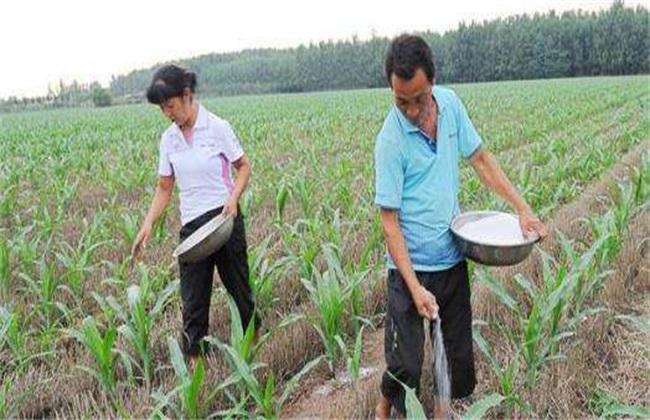 玉米的施肥要点