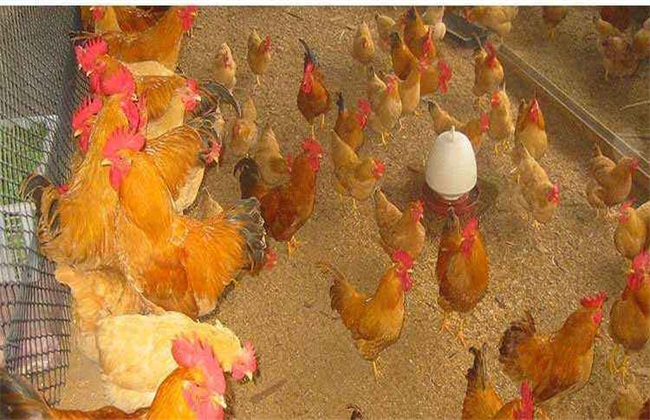 发酵床养鸡有什么好处