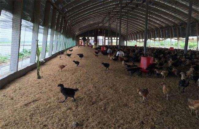 发酵床养鸡 有什么好处