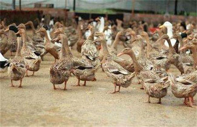 养鸭怎么才能赚钱