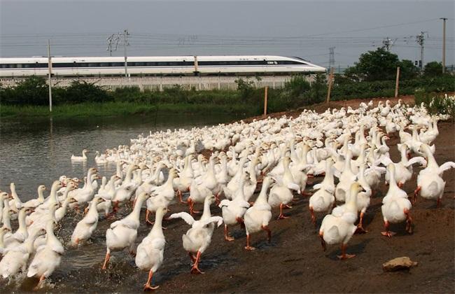 养鸭降低成本的方法