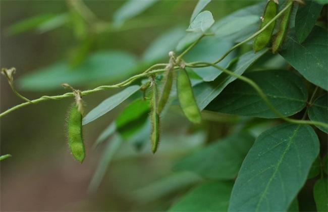 大豆空荚 原因 是什么