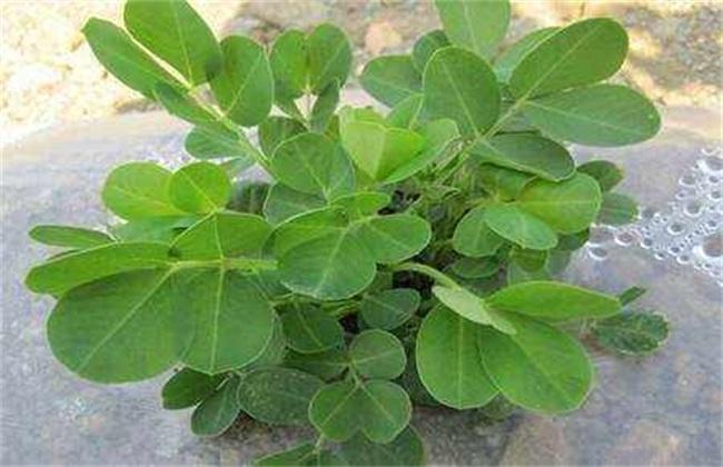 影响花生种子发芽 因素有哪些