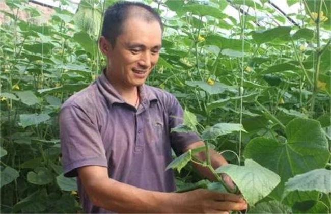 黄瓜的落蔓技术