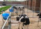 犊牛断奶后该怎么饲养