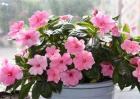 水梅花和凤仙花的区别