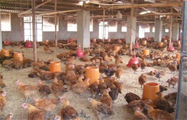 鸡应激的预防措施