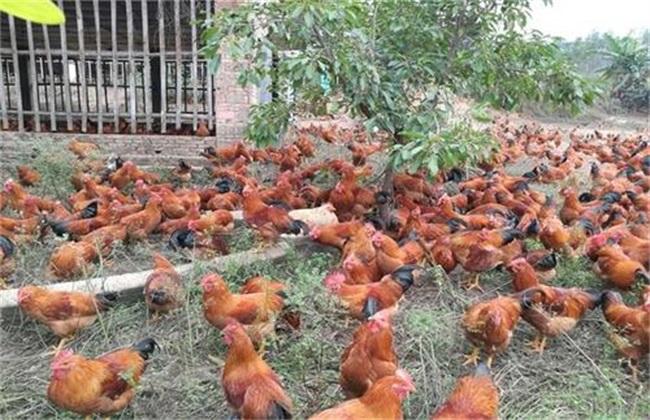 鸡应激 预防措施